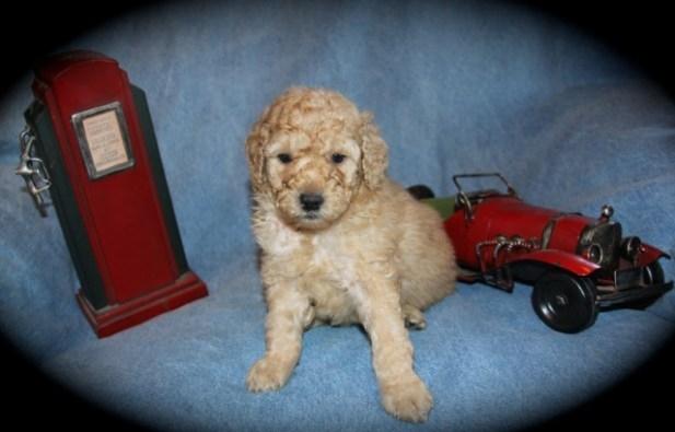 TheMoyenPoodle com - Premium Moyen Poodle Breeders in Texas