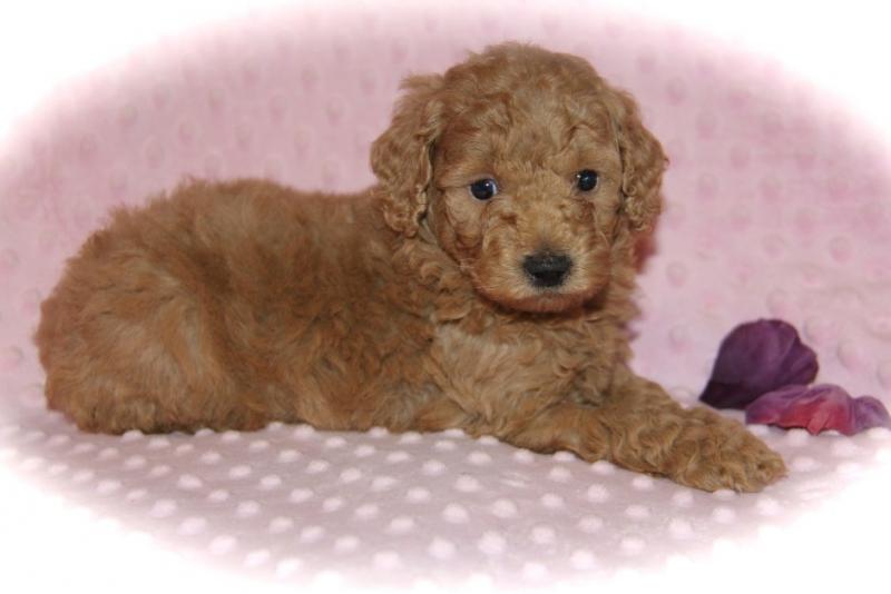 Themoyenpoodlecom Premium Moyen Poodle Breeders In Texas