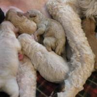 Moyen Poodle Puppy Litter