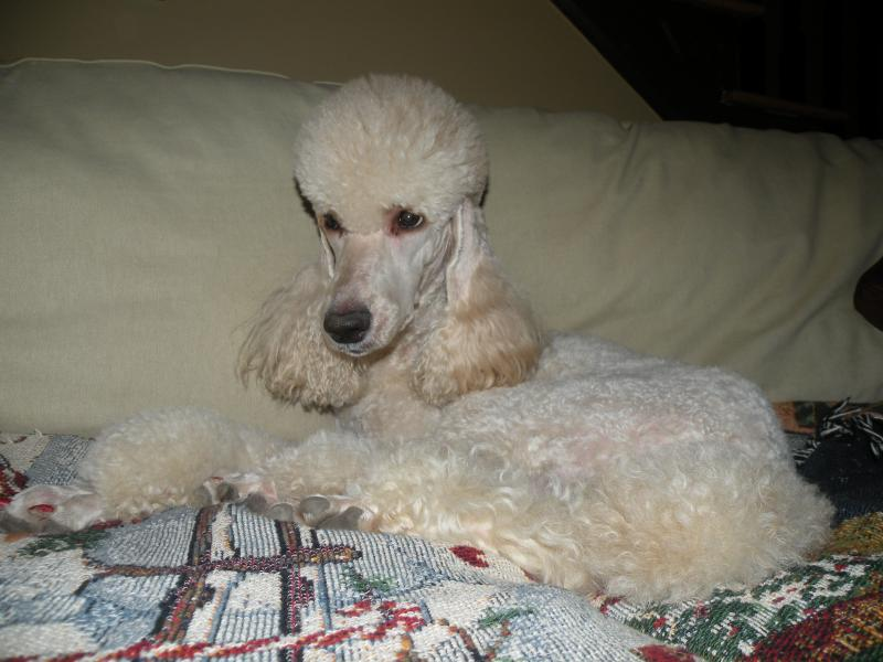 Melody - Moyen Poodle Female