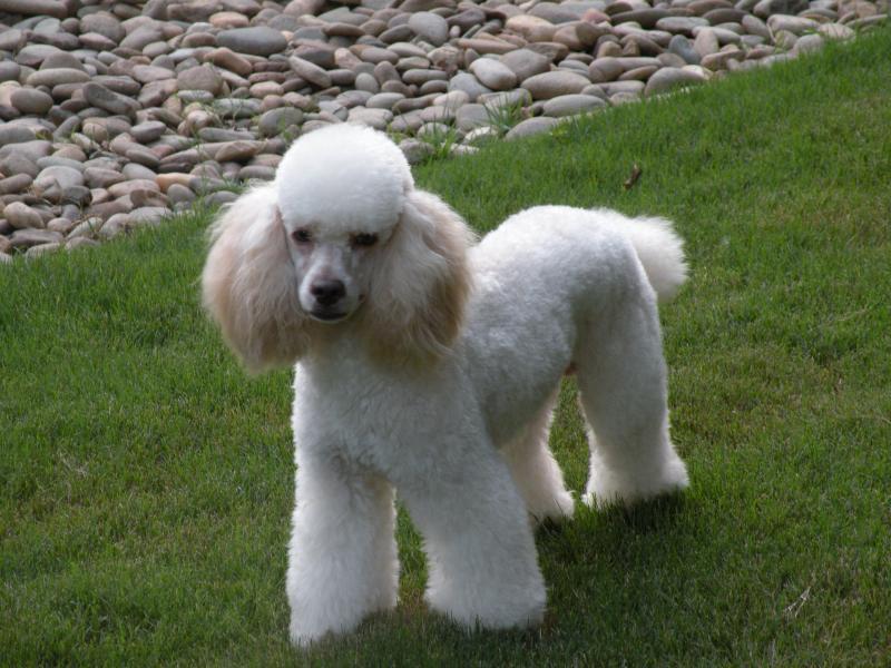 Romeo - Moyen Poodle Stud