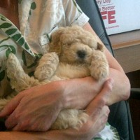 Moyen Poodle Puppy - themoyenpoodle.com