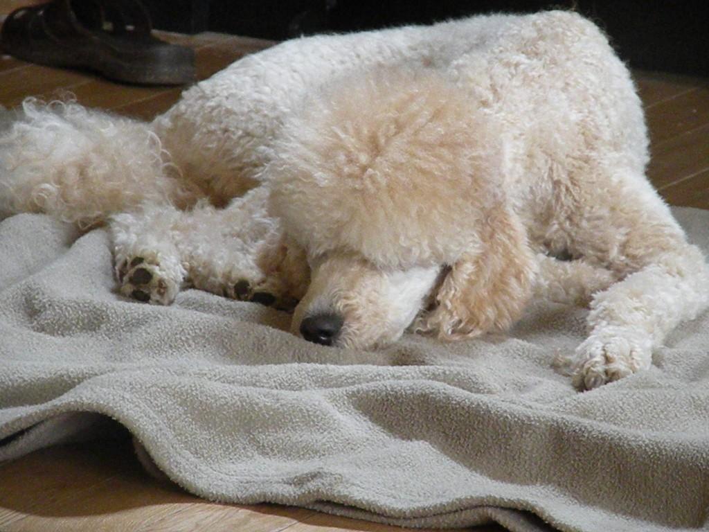 Melody - Moyen Poodle