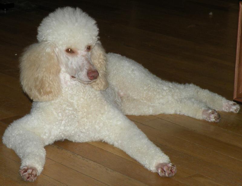 MJ - The moyen poodle
