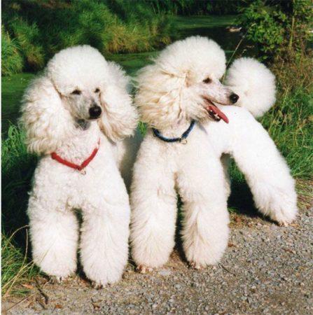 Moyen Poodles