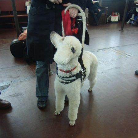 Standard Poodle service dog