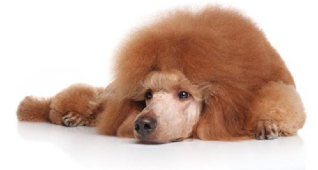 Themoyenpoodlecom Premium Moyen Poodle Breeder In Texas