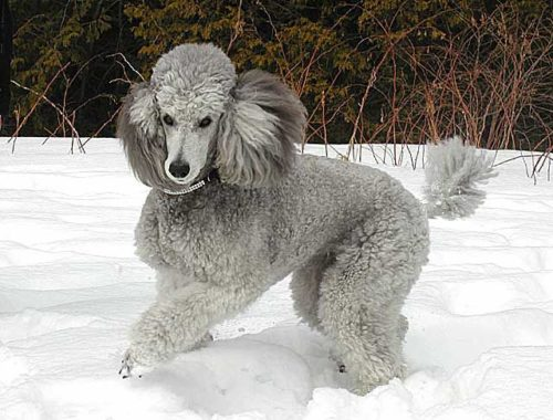 Silver Poodle in the snow