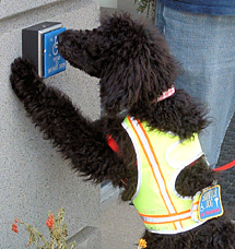Service dog Poodle opens door